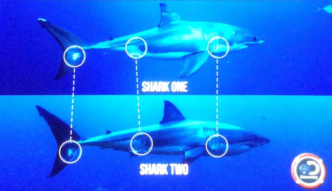 3 Great White Sharks 5 7 Yrs Male Siblings W Same