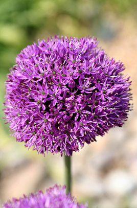 Rhs Plant Selector Allium Hollandicum Agm Rhs Gardening