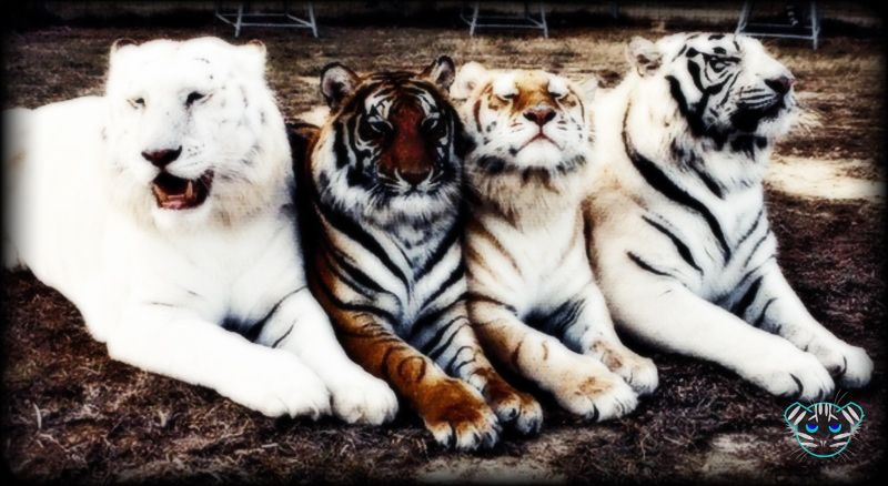 Four Tigers Picture That I Made In Photoshop I Used A Tool In