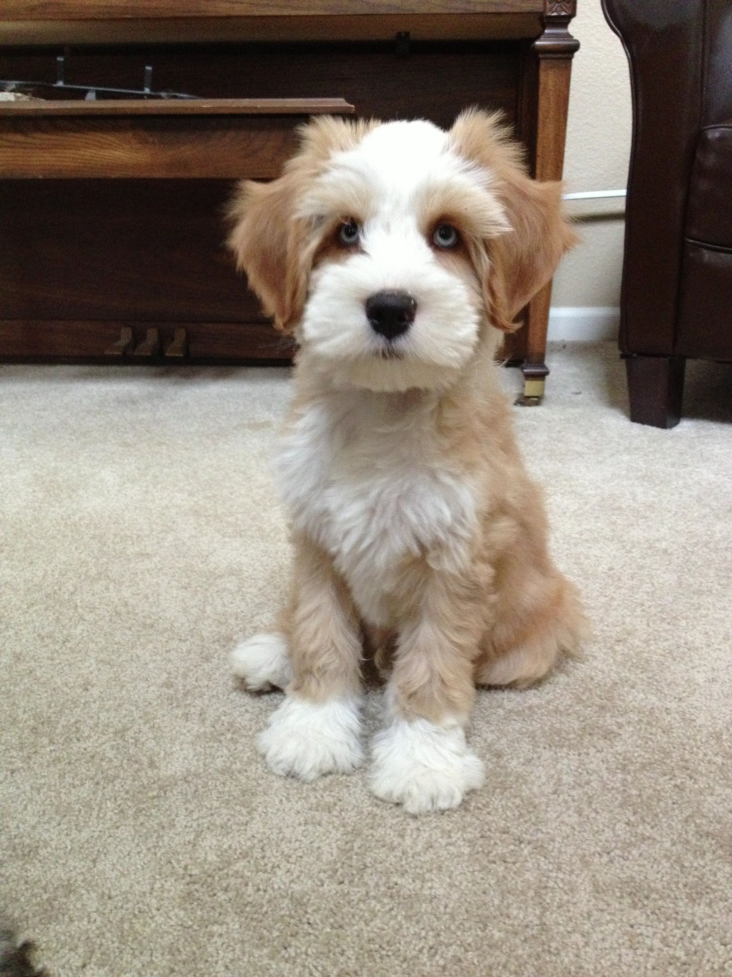 My Cousins Tibetan Terrier With Blue Eyes With Images