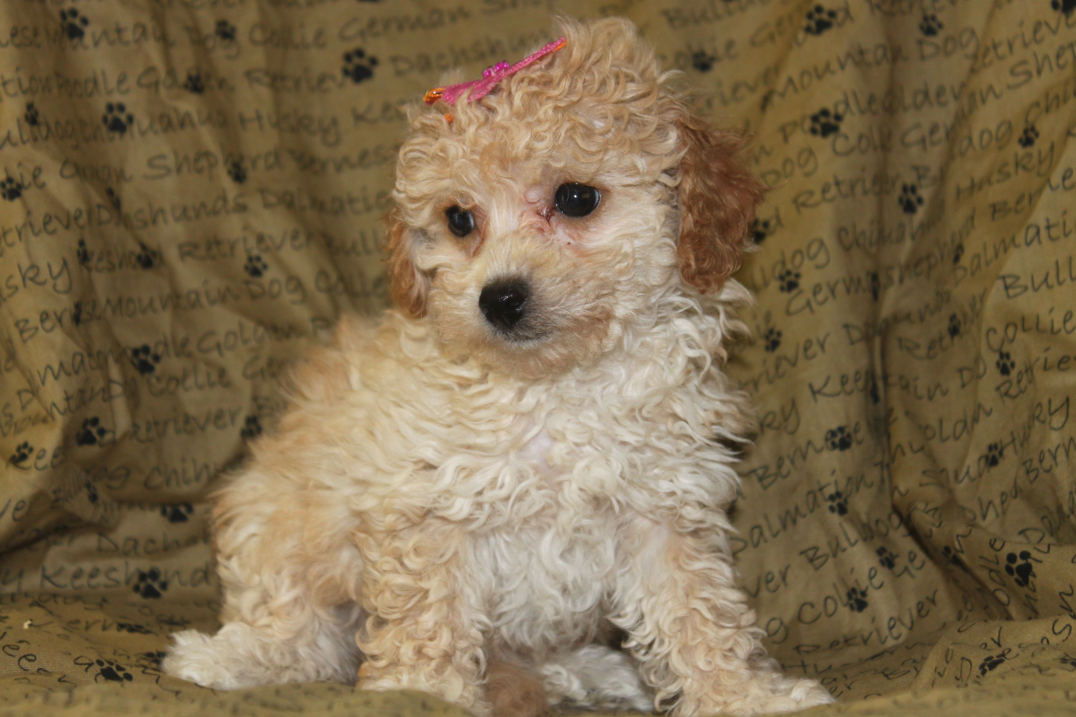 Poo Puppies For Sale In Shippensburg Pennsylvania Http Www