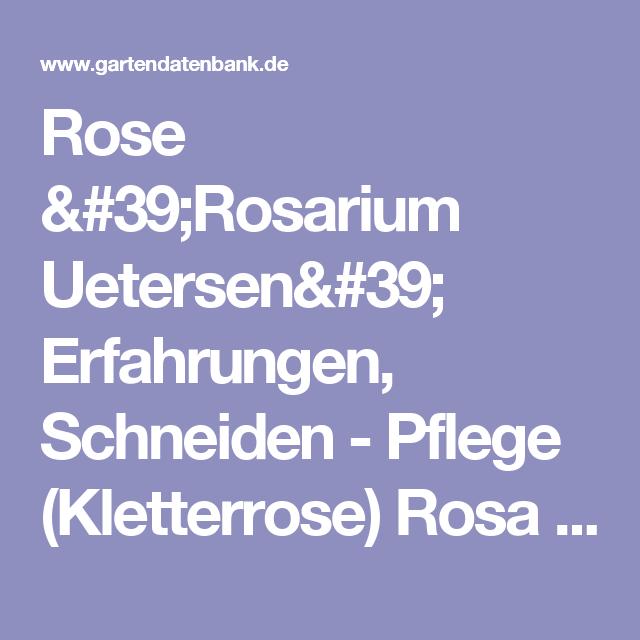 rose 'rosarium uetersen' erfahrungen, schneiden - pflege, Terrassen ideen