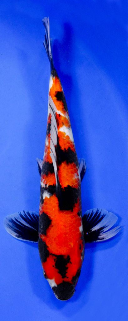 Koi Variety Guide Blue Ridge Koi Goldfish Koi Fish Koi Orange Koi