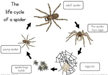 Spider Life Cycle Worksheet  Worksheets Cycling And Students