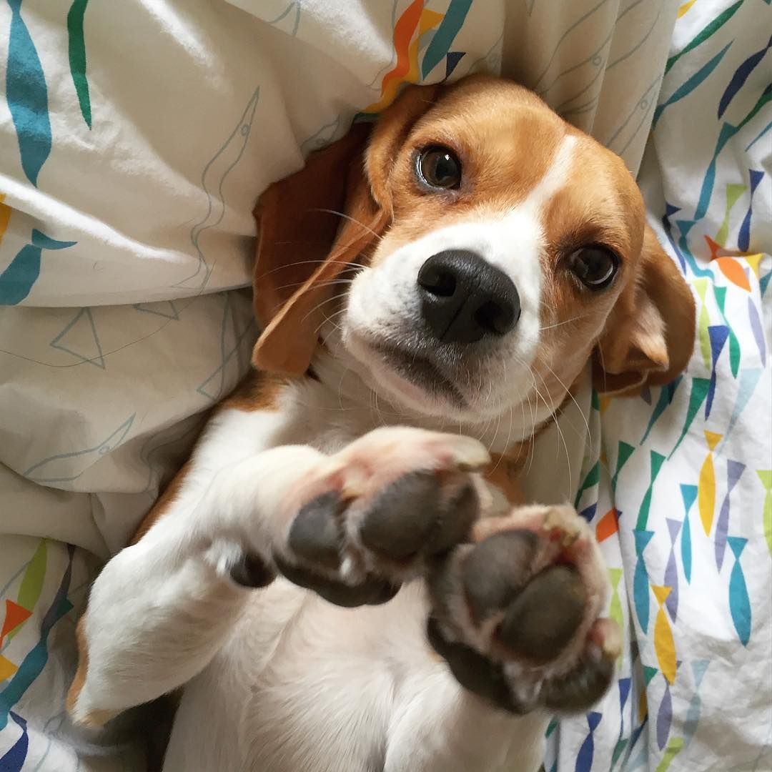 Paws Up For Nationaldogday Beagle