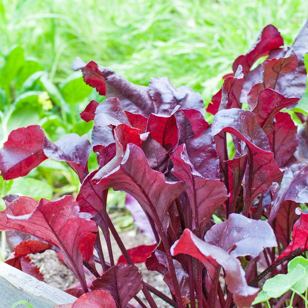 Pin By Darren Stack On Bull S Blood Beets Seed Beet 400 x 300