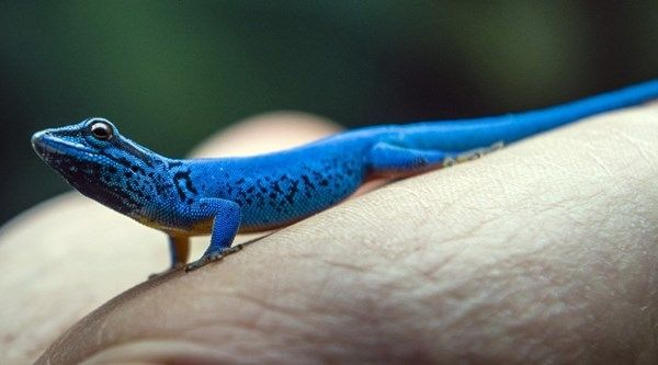 Bristol Zoo Is Now Home To 165 Seized Electric Blue Geckos Bristol Zoo Electric Blue Reptile Magazine