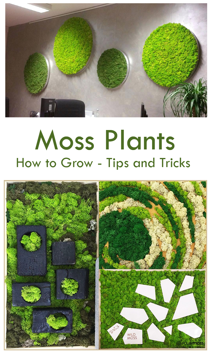 How To Grow Moss Plants Tips And Tricks Moss Plant Moss