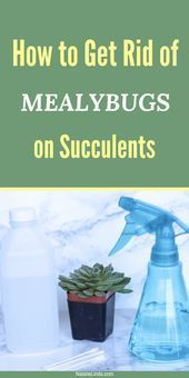 Photo of Mealybugs can ruin your succulents and cacti. Learn this easy DIY method for get…