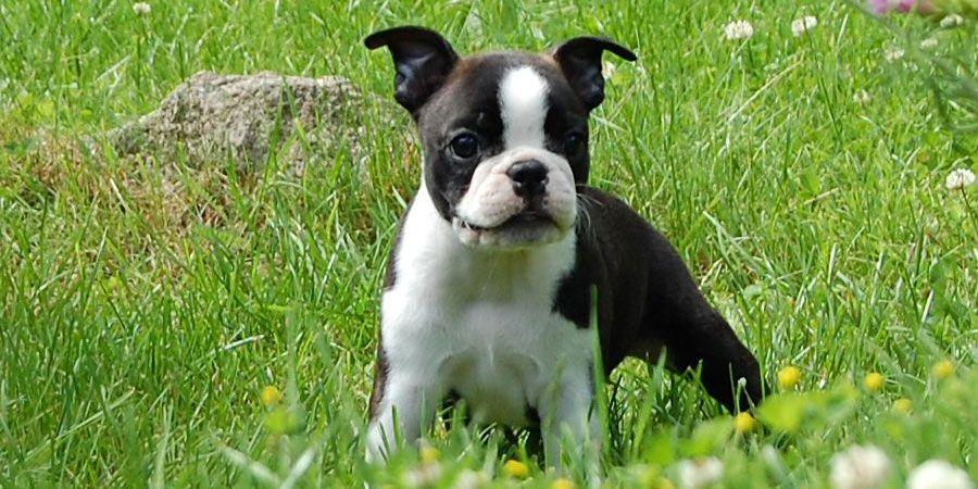 Boston Terrier Puppy Picture