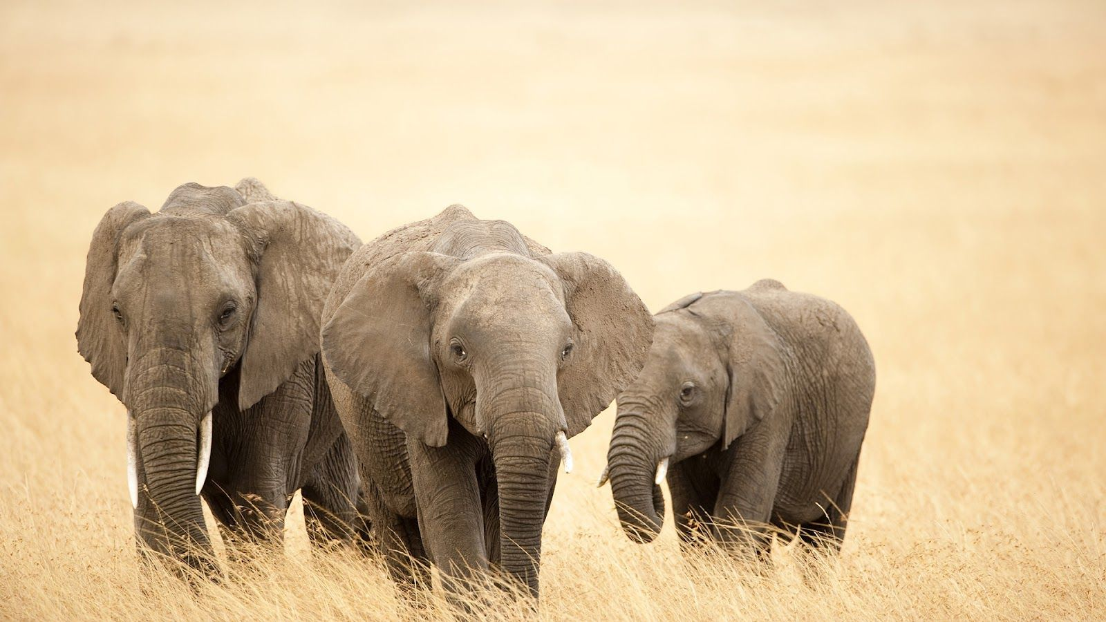 Free African Elephant Wallpaper download Animals Town | HD ...