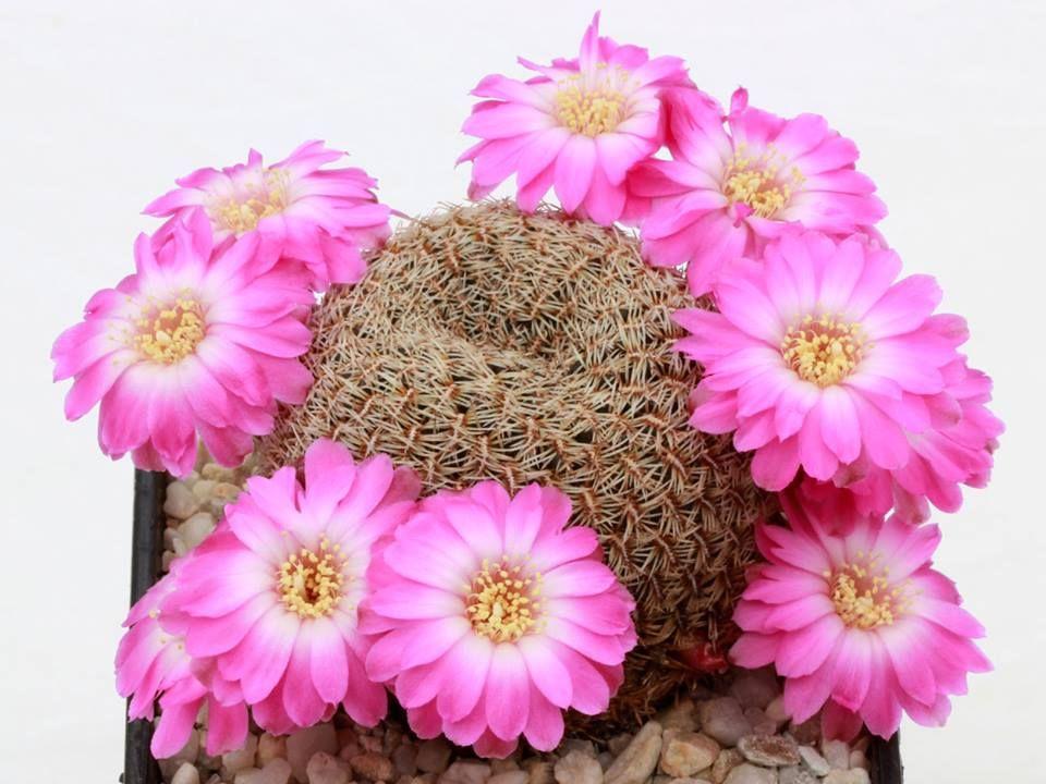 Sulcorebutia albissima fa. HS 100