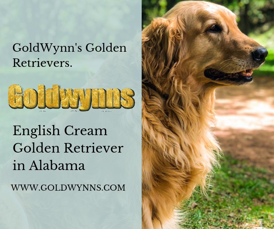 Your Search For A Kind Friendly Intelligent And A Confident Dog Ends With The Purchase Of The Golde In 2020 Golden Retriever Retriever Golden Retriever English Cream