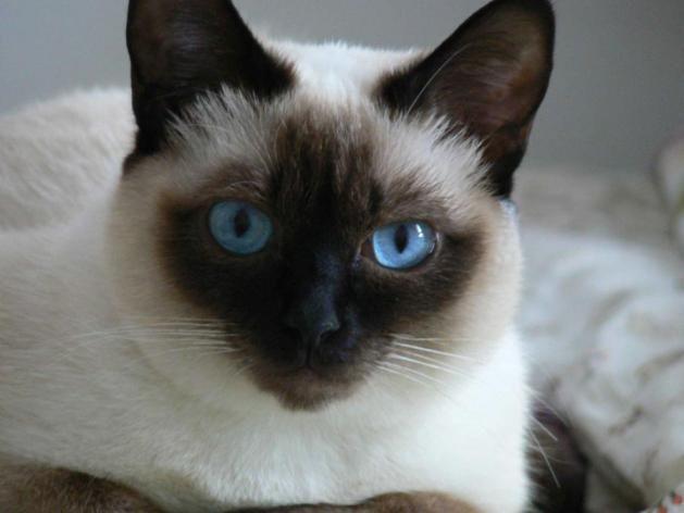 Amigurumis Gato Siames : Gato siames mis gatos amigurumi gato gatos