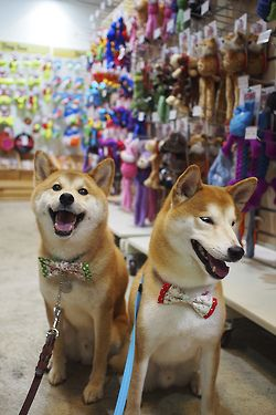 Look At Our Bows Nice Dogs Shiba Inu Cute Dogs Dogs