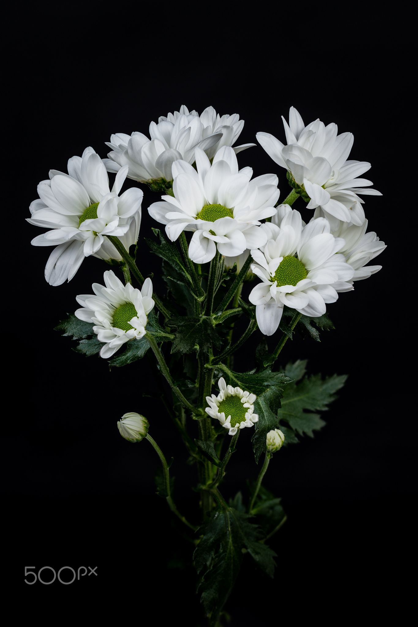 Asters Blackwhitegreen Mood Pinterest Aster Flowers And Plants
