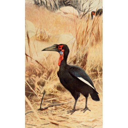 Brehms Tierleben 1911 Ground Hornbill Canvas Art - FW Kuhnert (18 x 24)
