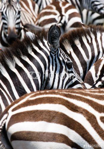 Photo: pattern of zebras