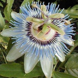 Passion Flower Blue Passiflora Caerulea 5 Flower Seeds By Seed Empire 1 10 Grows 30 In One Season Hardy Zone 6 10 Fast Grower Delicious Fruit Botanica