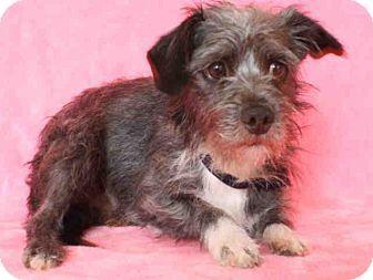Burbank Ca Norwich Terrier Schnauzer Miniature Mix Meet Ian A Dog For Adoption Norwich Terrier Dog Adoption Terrier Mix