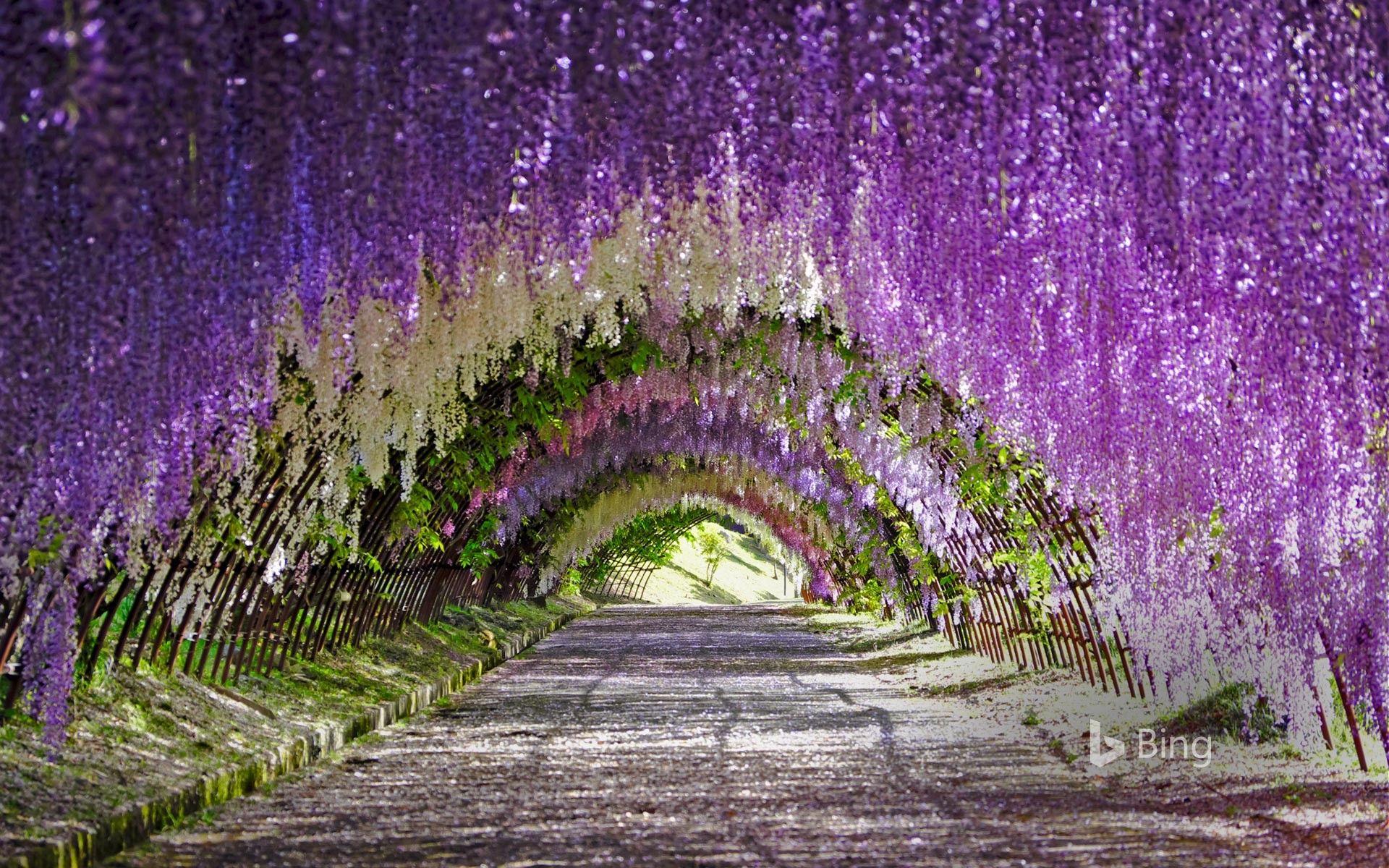 Wisteria Tunnel At Kawachi Fuji Gardens Kitakyushu Japan