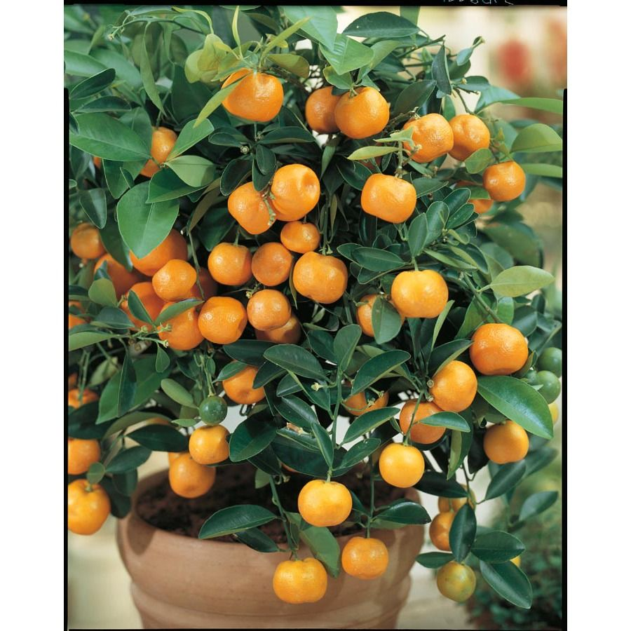 Quiet Corner Container Gardening Ideas: Shop 3.25-Gallon Semi-Dwarf Calamondin