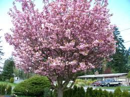 Vandalay Cherry Tree Self Fruitful Late July Large Firm Red Fruit That Is Highly Resistant To Cracking Flowering Cherry Tree Ornamental Cherry Tree Seeds