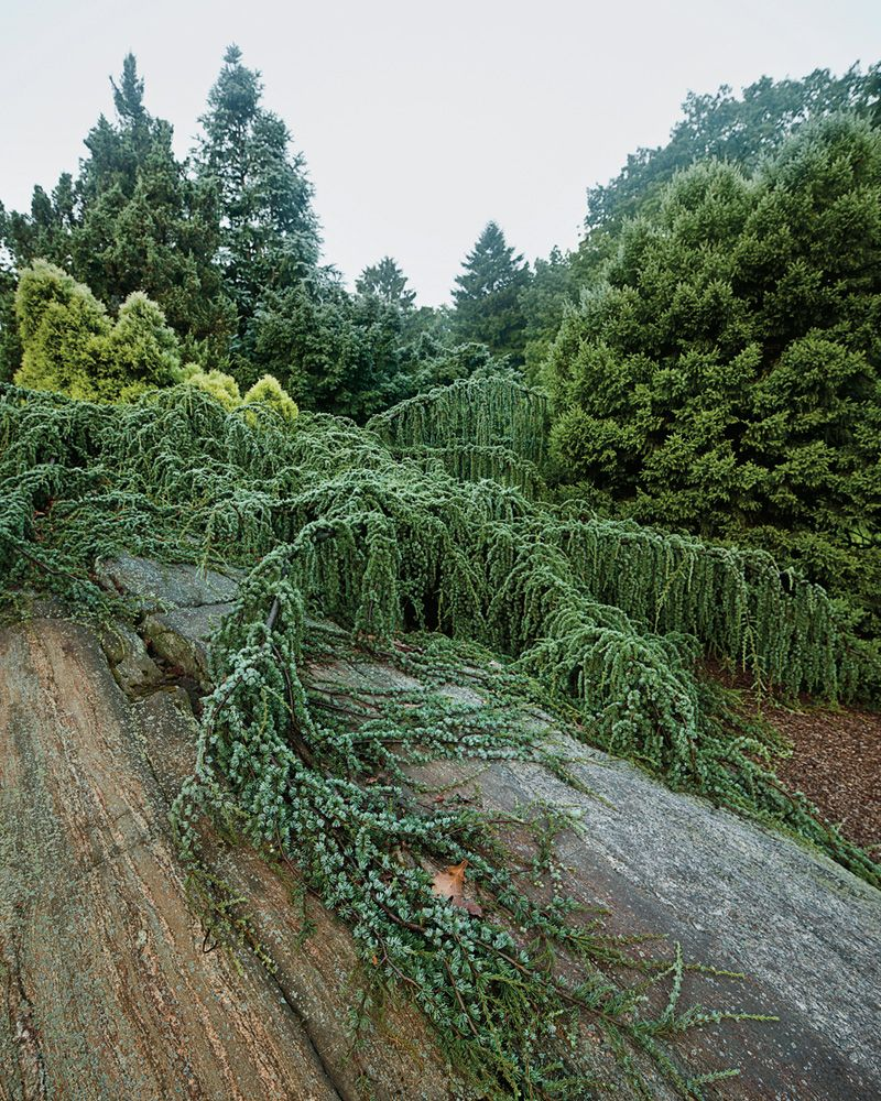 Weeping Evergreens In The Landscape - A cast of conifers evergreen gardenevergreen trees landscapingweeping