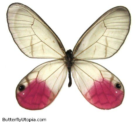 Pink glasswing butterfly