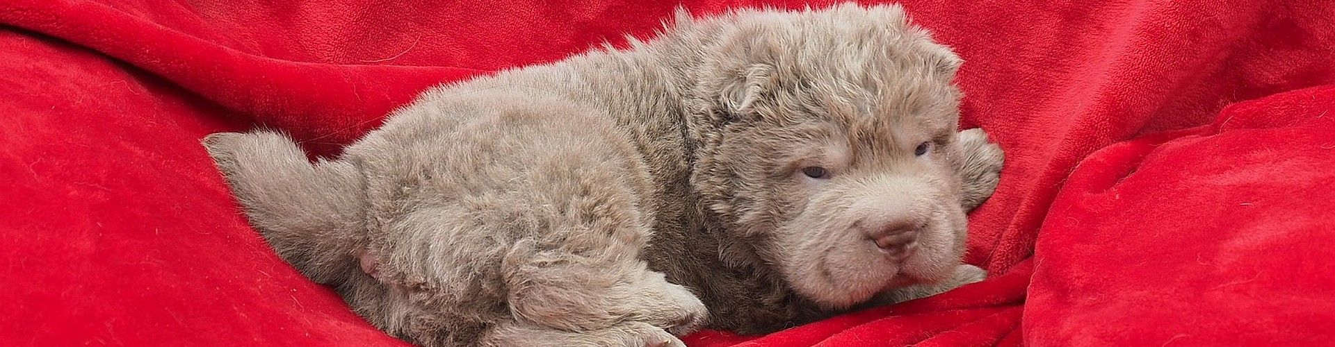 Savdeeta Available Shar Pei Puppies Shar Pei Puppies Fur Babies