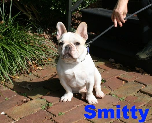 Smitty Bluegrass Frenchies Of Richmond Ky French Bulldog