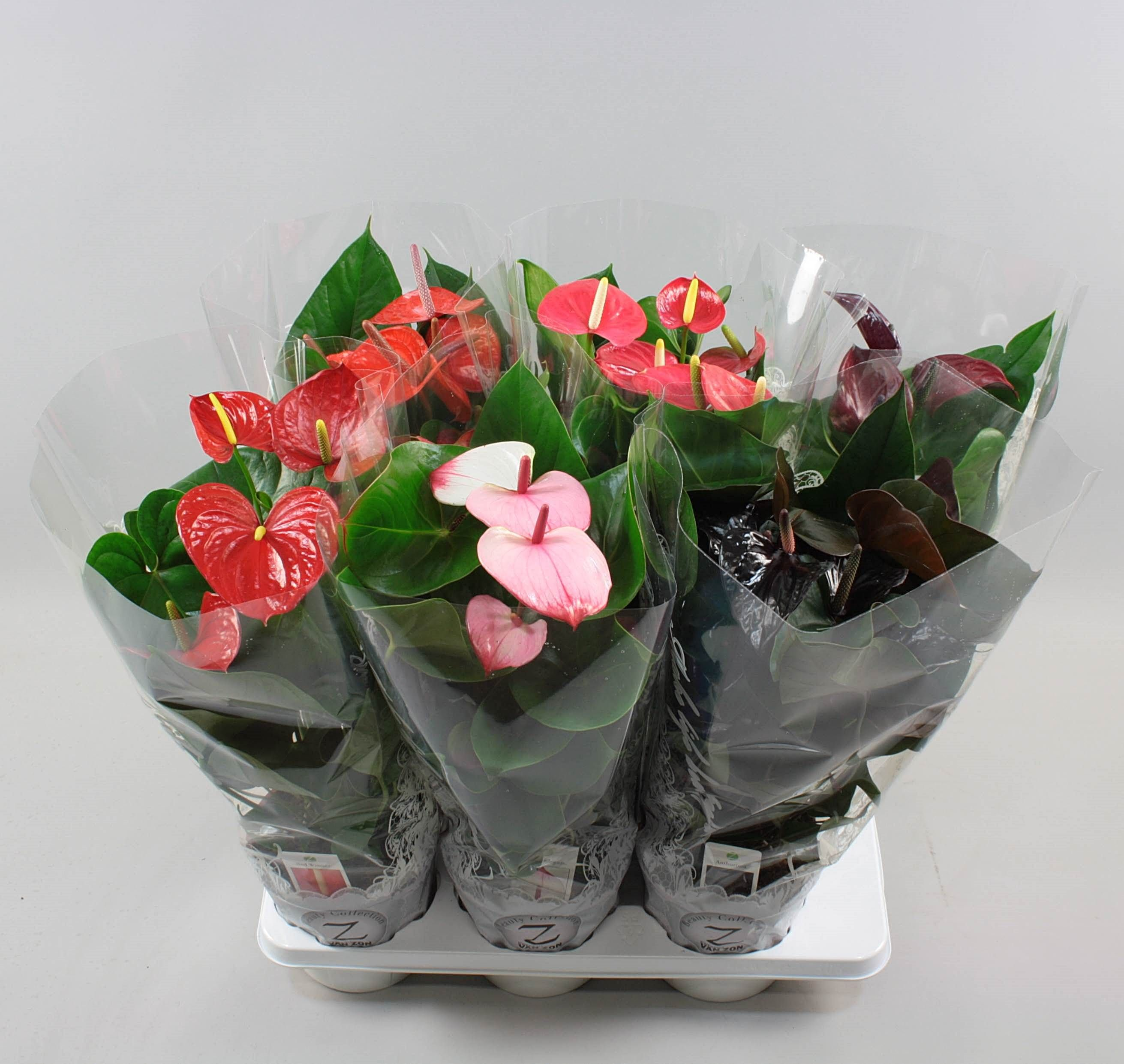 Anthurium andr. Exclusive 6 colormix Ø17cm in lace-sleeve