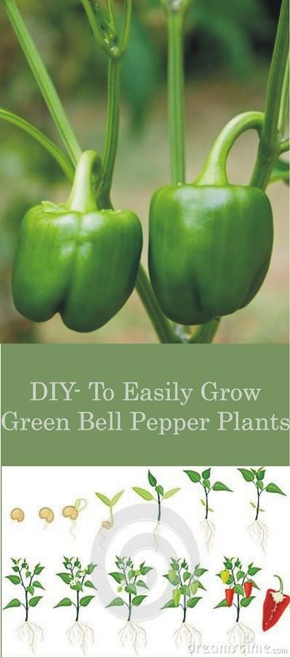 Diy How To Easily Grow Green Bell Pepper Plants Diy Grow Green Bell Pepper Pepper Plants Stuffed Bell Peppers Bell Pepper Plant