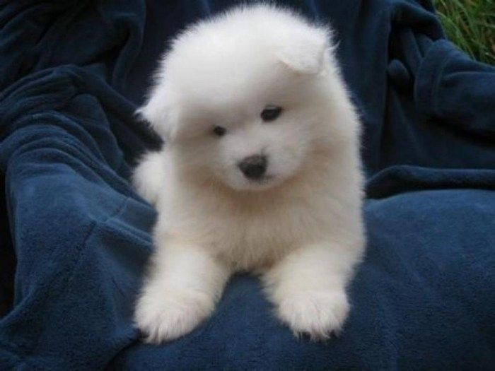 Do You Like the Fluffy Samoyed Puppies?