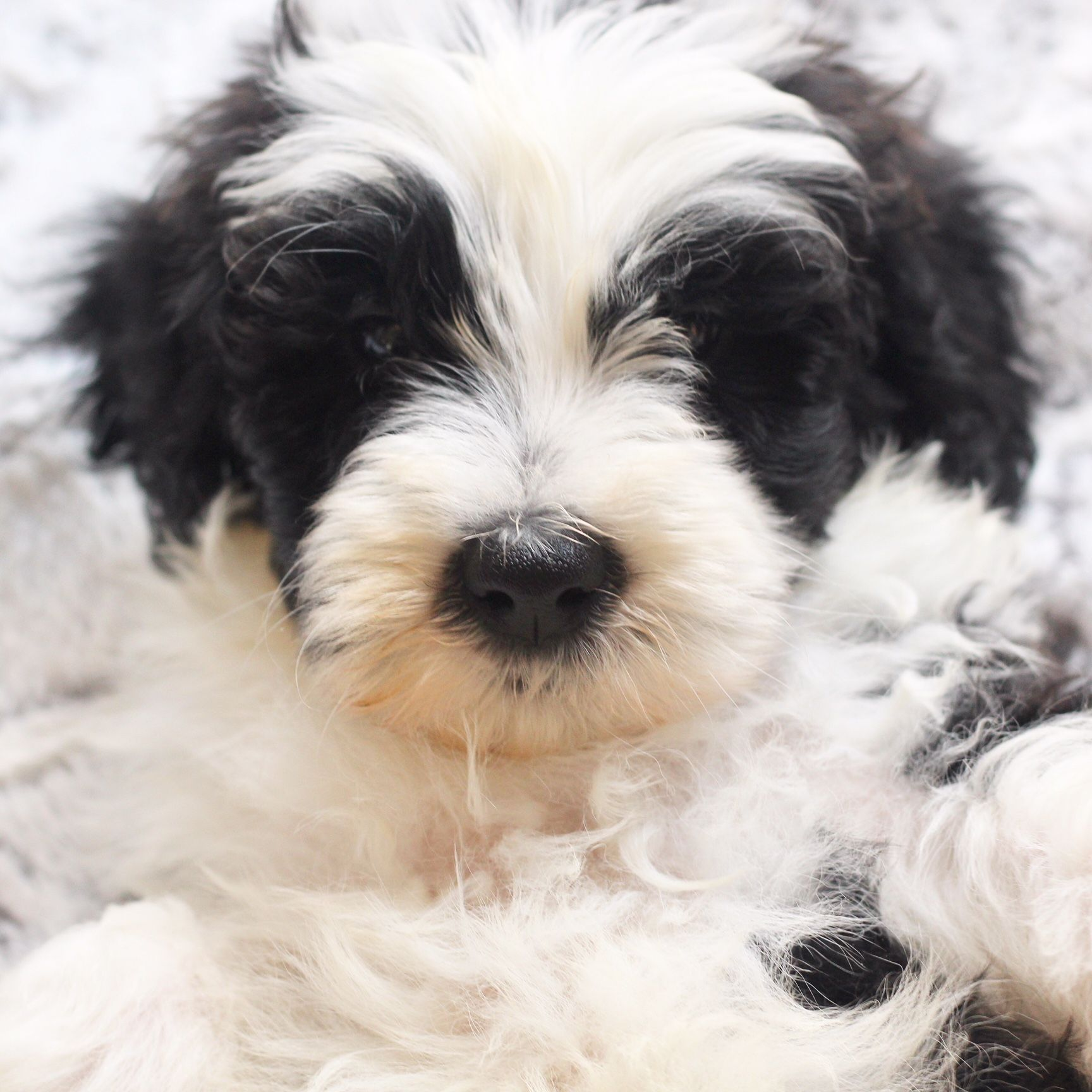 SHEEPADOODLE PUPPY! Melt my heart! Native Doodles (With