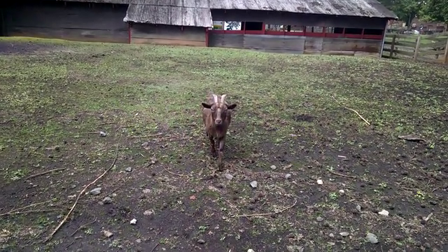 Goats are so awesome!