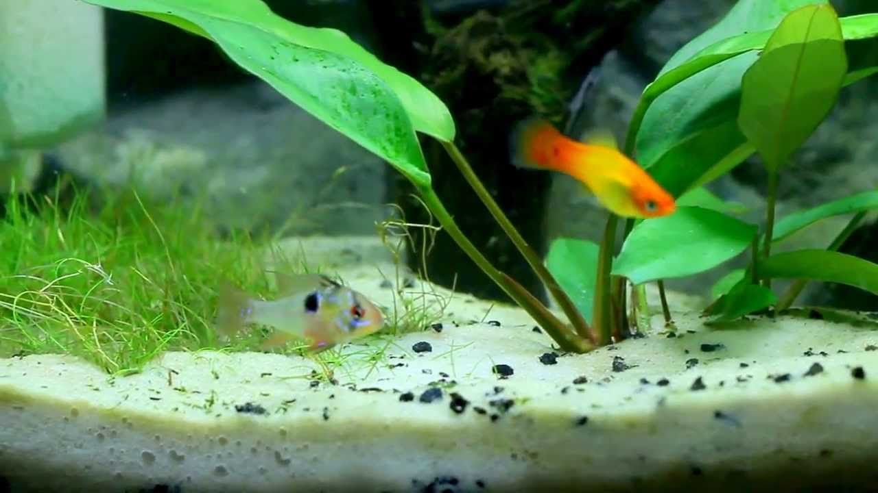 German Blue Ram Community Tank Community Tanks Neon Tetra Fish Pet