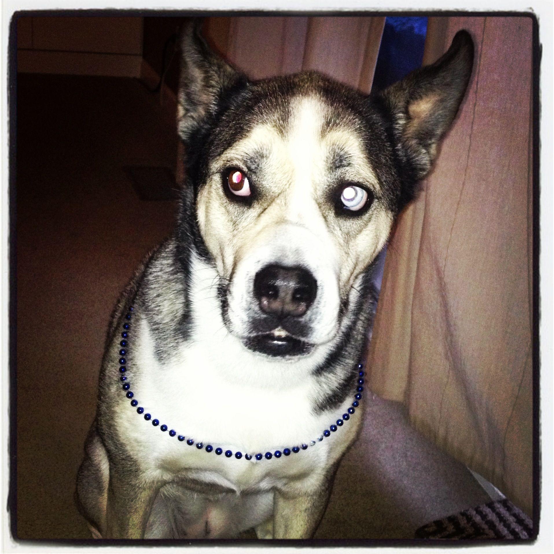 Laddie The Wonder Dog Siberian Husky English Bulldog Mix English Bulldog Siberian Husky Husky