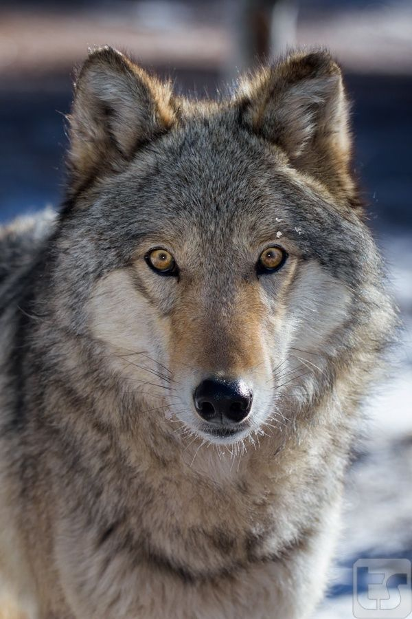"Windows To My Soul - Female Timber Wolf by Theodore (Ted) Stark... ""A female timber wolf is seen after playing in the snow on a frigid, sub-zero morning at the Colorado Wolf and Wildlife Sanctuary - Divide, CO"""