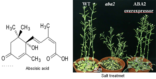 what is abscisic acid in plants