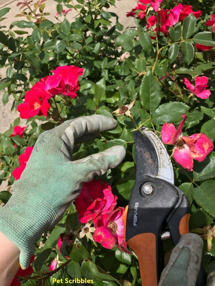 Should You Deadhead Knockout Roses Knockout Roses Pruning Knockout Roses Knockout
