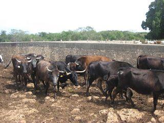 PeninsulaTaurina.com : Conozca la ganadería campechana de Guayabé