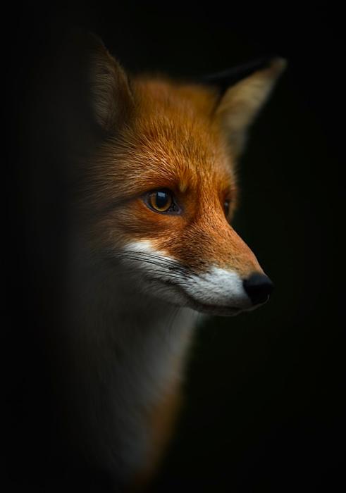 In der griechischen Mythologie gibt es auch den Teumessischen Fuchs. Der Fuchs war eine Strafe für Theben und er war durch göttliche Fügung dazu ausersehen, dass niemals ein Jäger ihn fangen könne.