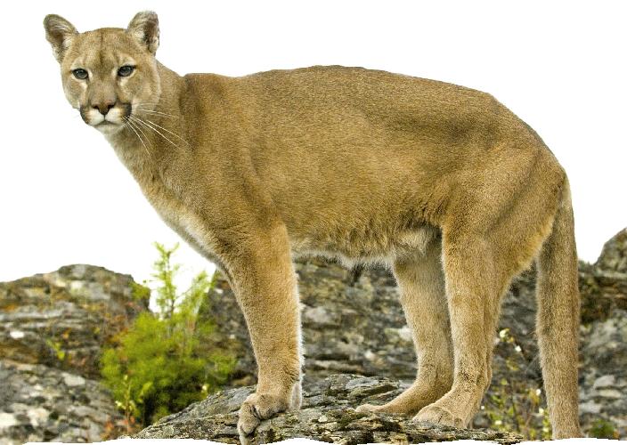 Job Openings At The Mountain Lion Foundation Mountain Lion Lion Animal Photo