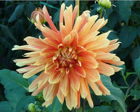 Life Force (#1708) Classification: Dekorative Dahlien Color: orangerot, orangefarbige Spitzen Height: circa 110 cm Blossom size: 20 cm - 25 cm