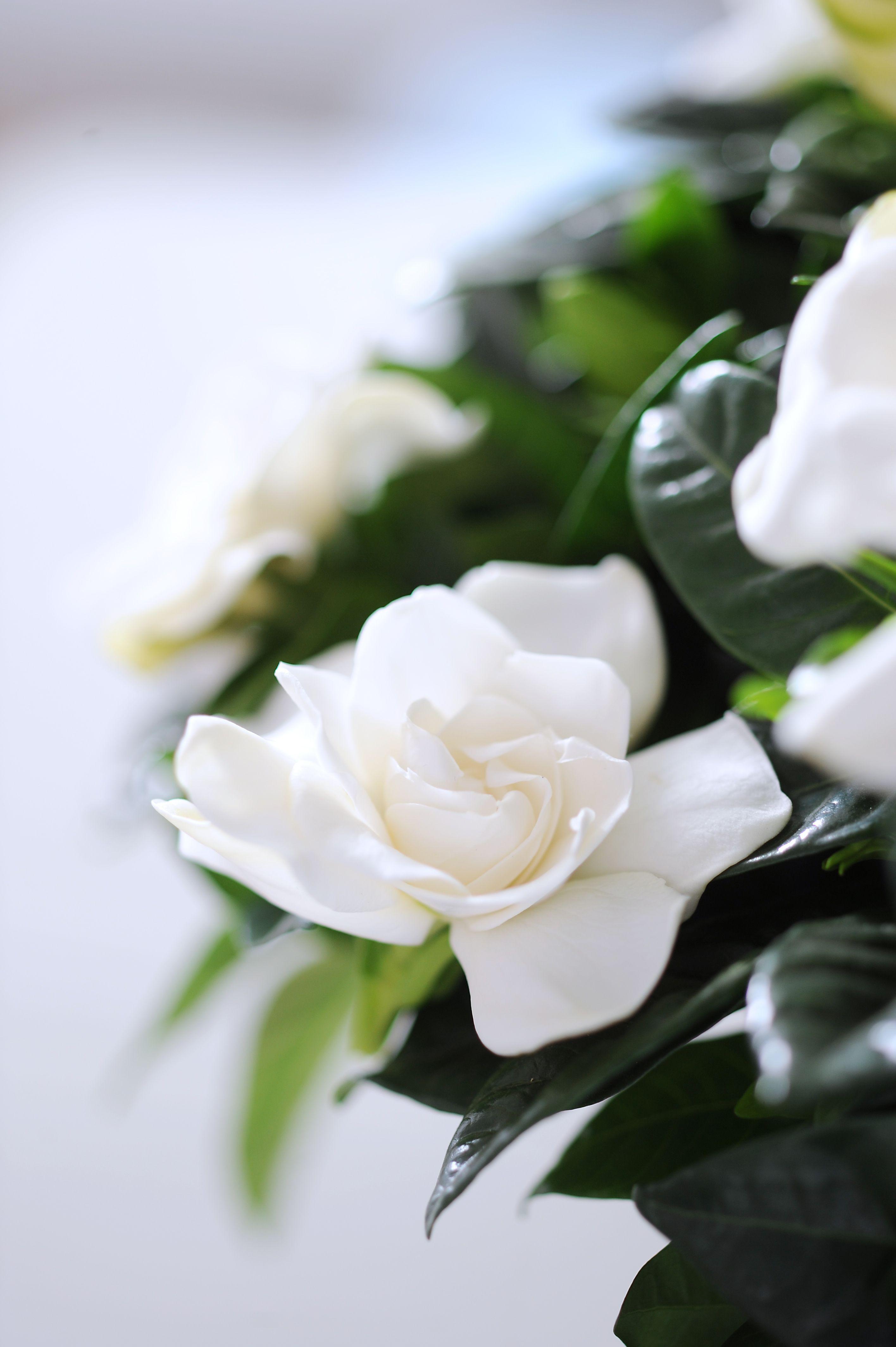 Fiori Bianchi Profumati.Gardenia Jasminoides Fiori Fiori Semplici Fiori Bianchi