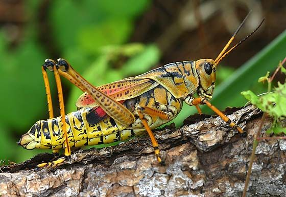 Grasshopper Enemy My Friends I Will Eat All Of Your Vegetable Plants And Then Fly Away Take Me Fishing Saltamontes Insectos Macrofotografia