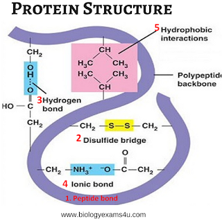 Bonds In Protein Structure Protein Biochemistry Peptides