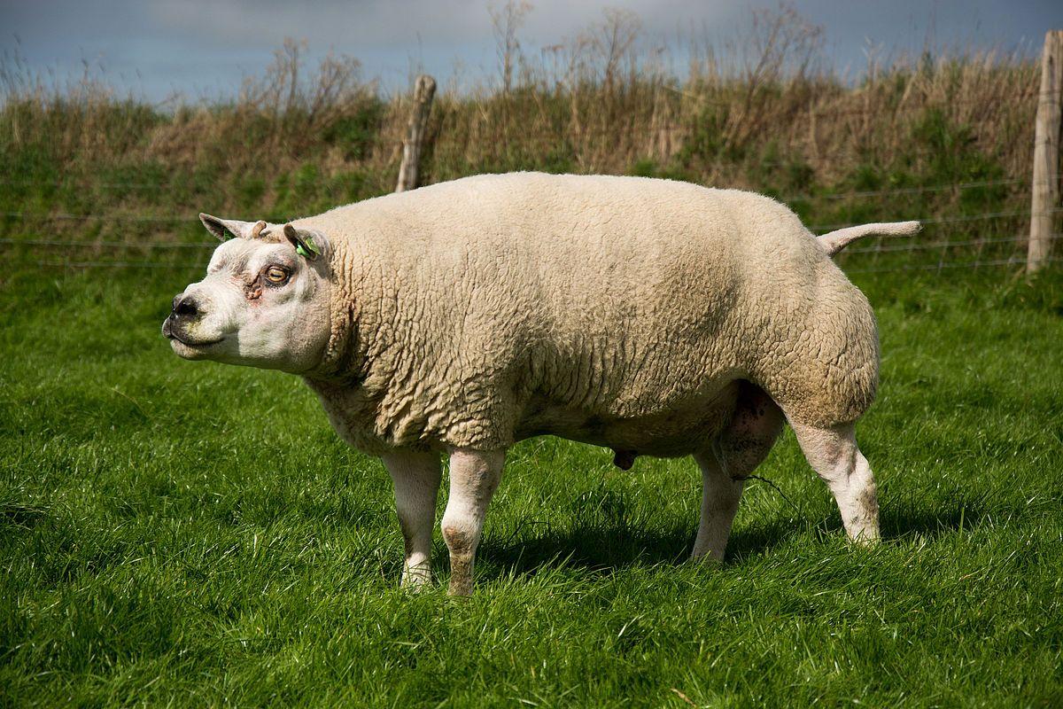Texel, race ovine