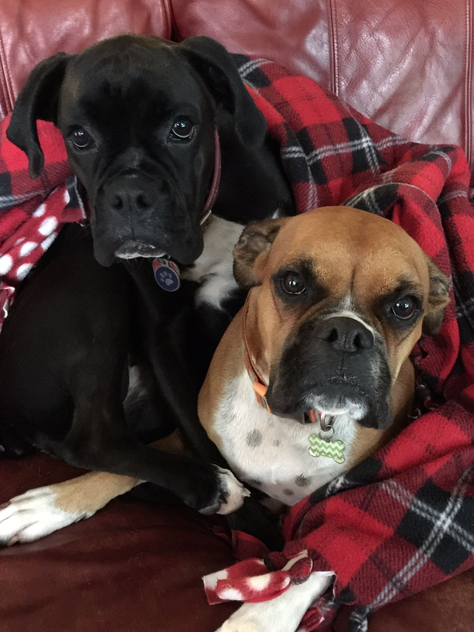 Boxers my girls Lola and Navy